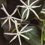 jasminum-anodontum