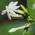 jasminum-bhumibolianum