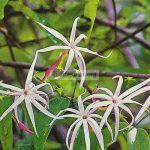 jasminum-brachylobum