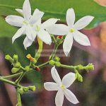 jasminum-calcicola