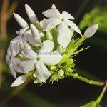 jasminum-coarctatum