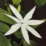 jasminum-cordatum