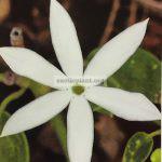 jasminum-cordatum-dwarf