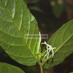 jasminum-craibianum