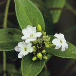 jasminum-decipiens
