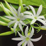 jasminum-decussatum