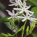 jasminum-harmandianum