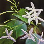 jasminum-lanceolaria