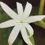 jasminum-laurifolium