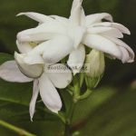 jasminum-mali-thot