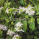 jasminum-multiflorum