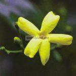jasminum-odoratissimum