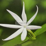 jasminum-sp-1-mali-khao-ngoen