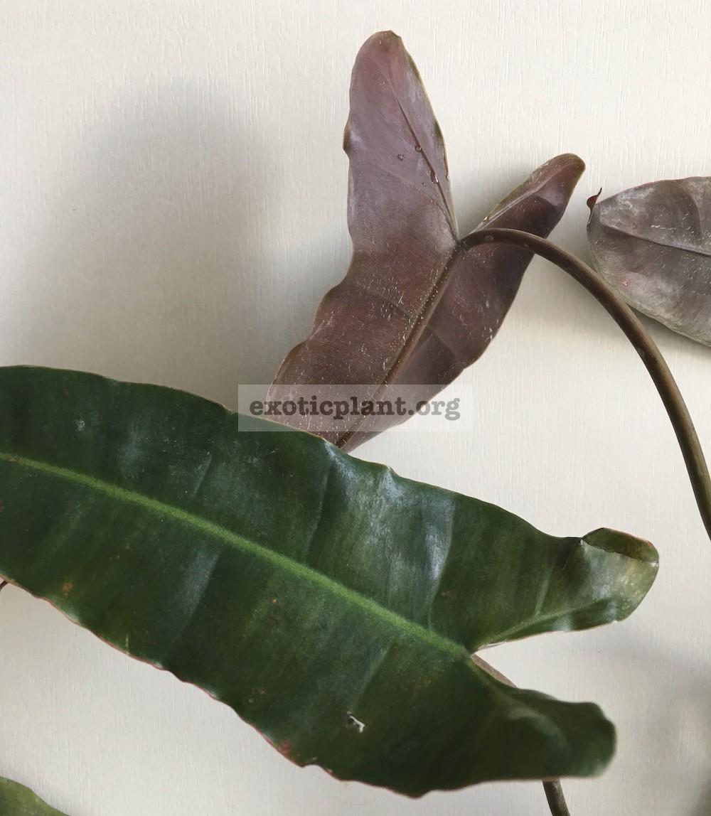 Philodendron billetiae (black petiole) 30-45 (по цене 30 временно недоступна к заказу)