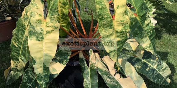 philodendron-billetae-variegated