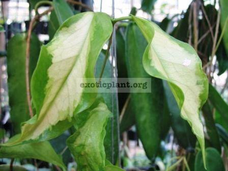 125 Hoya kenejiana variegata  Nugget  38