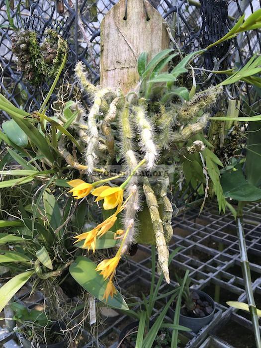 199 Dendrobium aphyllum BS 12-40