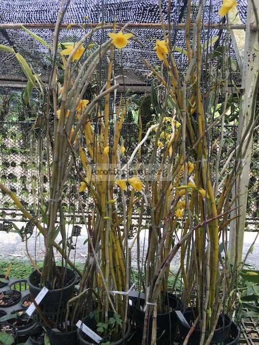 235 Dendrobium dixanthum Fragrant BS 12-40