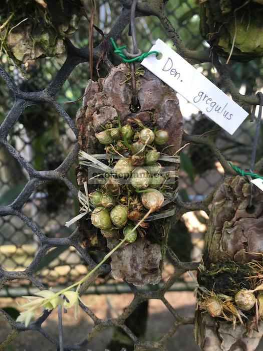 248 Dendrobium gregulus BS 20