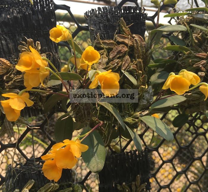 258 Dendrobium jenkinsii BS 12-40
