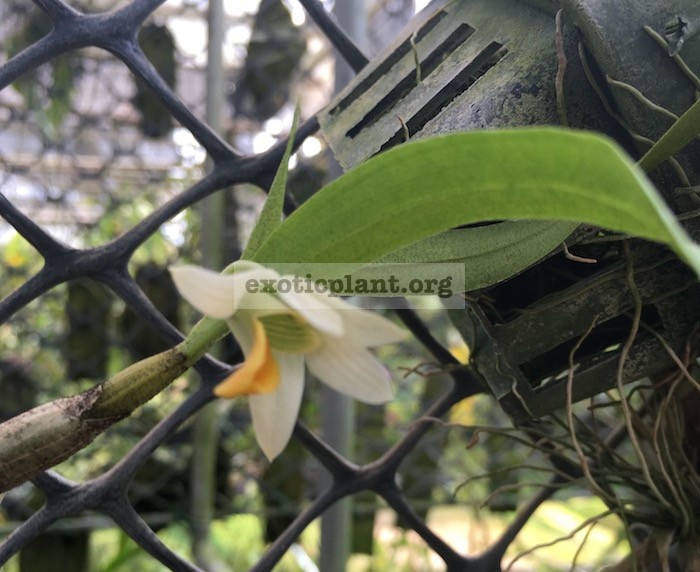 287 Dendrobium scabrilingue BS 12-40