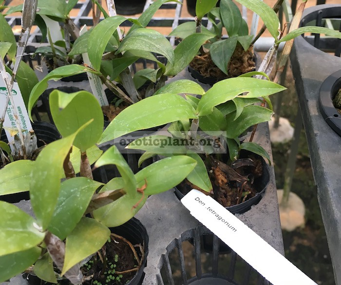 297 Dendrobium tetragonum Fragrant BS 75