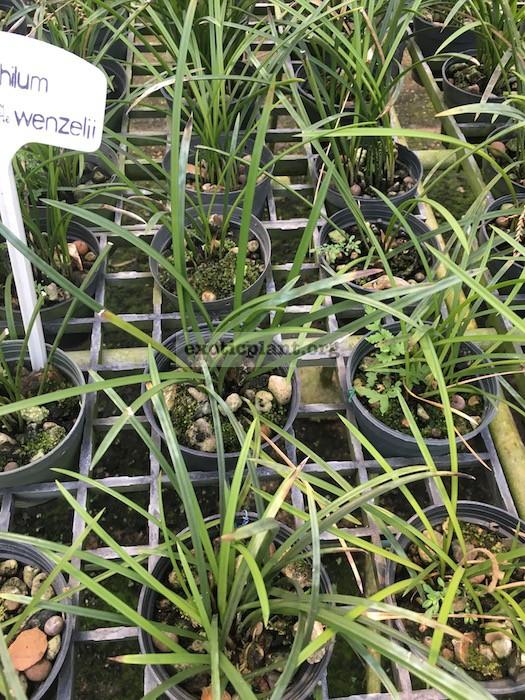 305 Dendrobium wenzelii BS 60