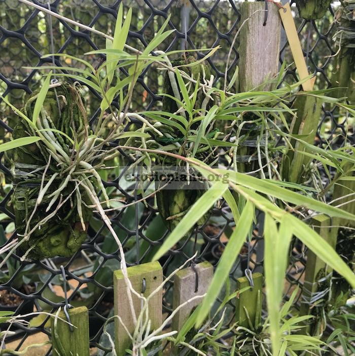 323 Epidendrum centradenia BS 55-75