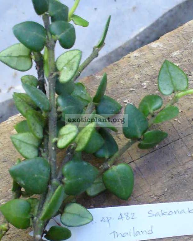 482 Hoya sp.482 Sakonakorn Thailand 30