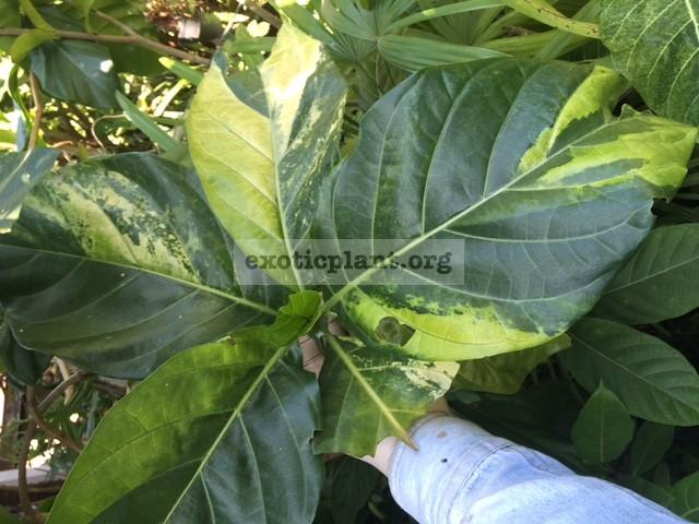 Morinda Citrifolia Variegata 120