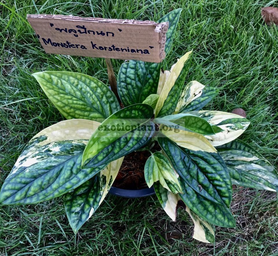 Monstera karstenianum variegated 50-100 (по цене 50 временно недоступна к заказу)