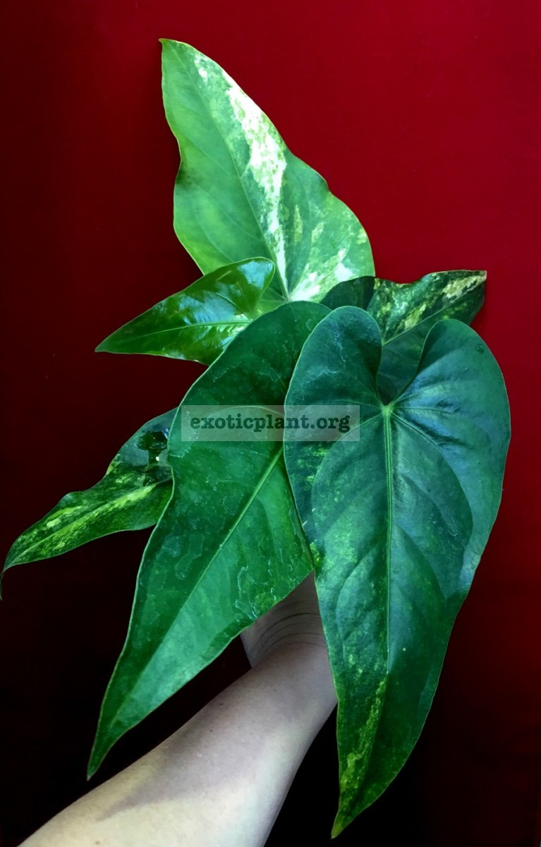 anthurium hybrid Arrow Heart variegated 100