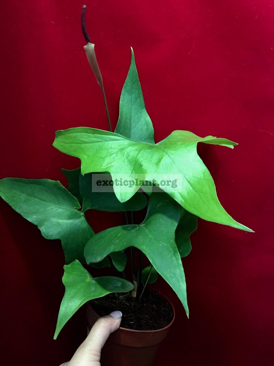 anthurium sp Pinnochio 60