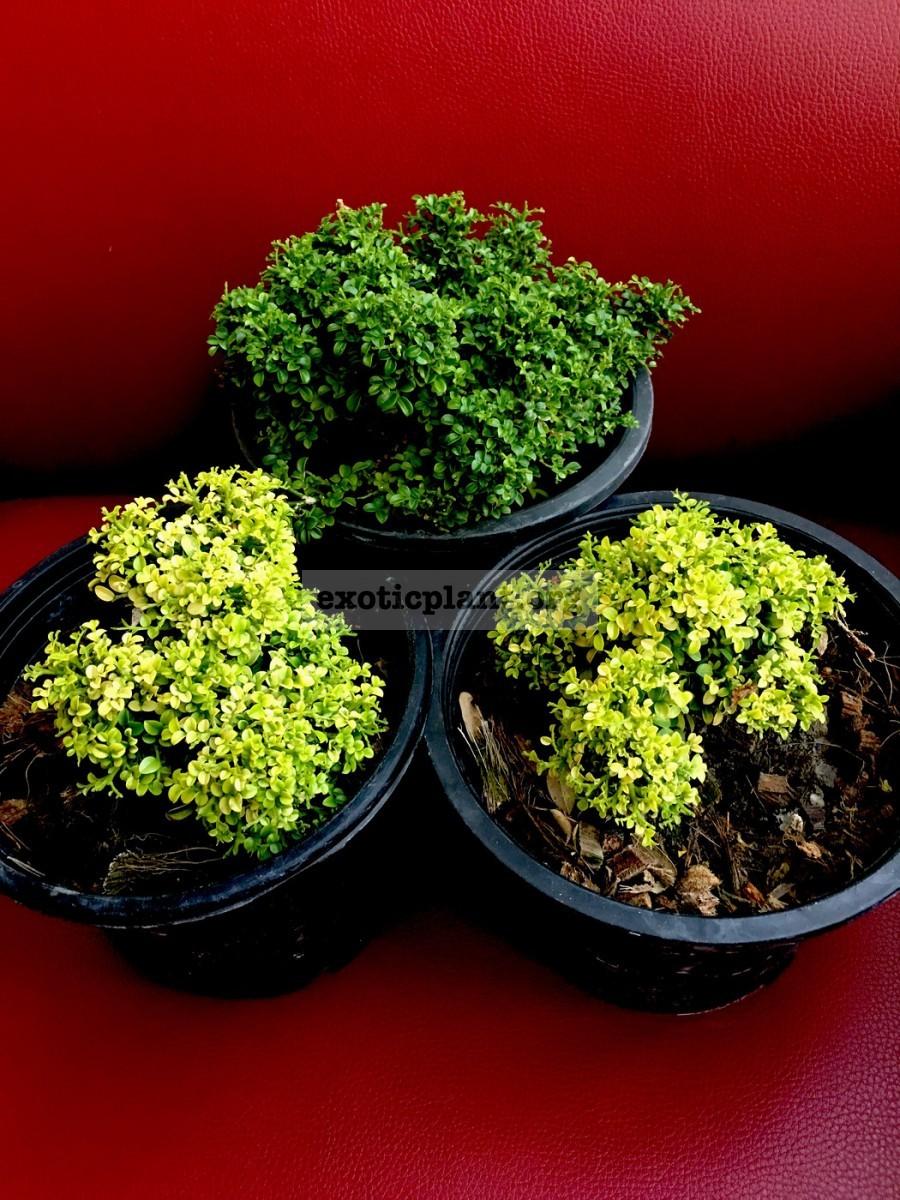 micromurraya Golden Leave 70