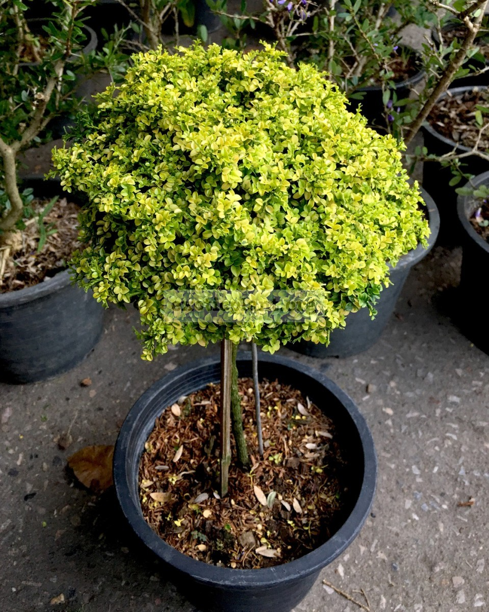 micromurraya Golden Leave