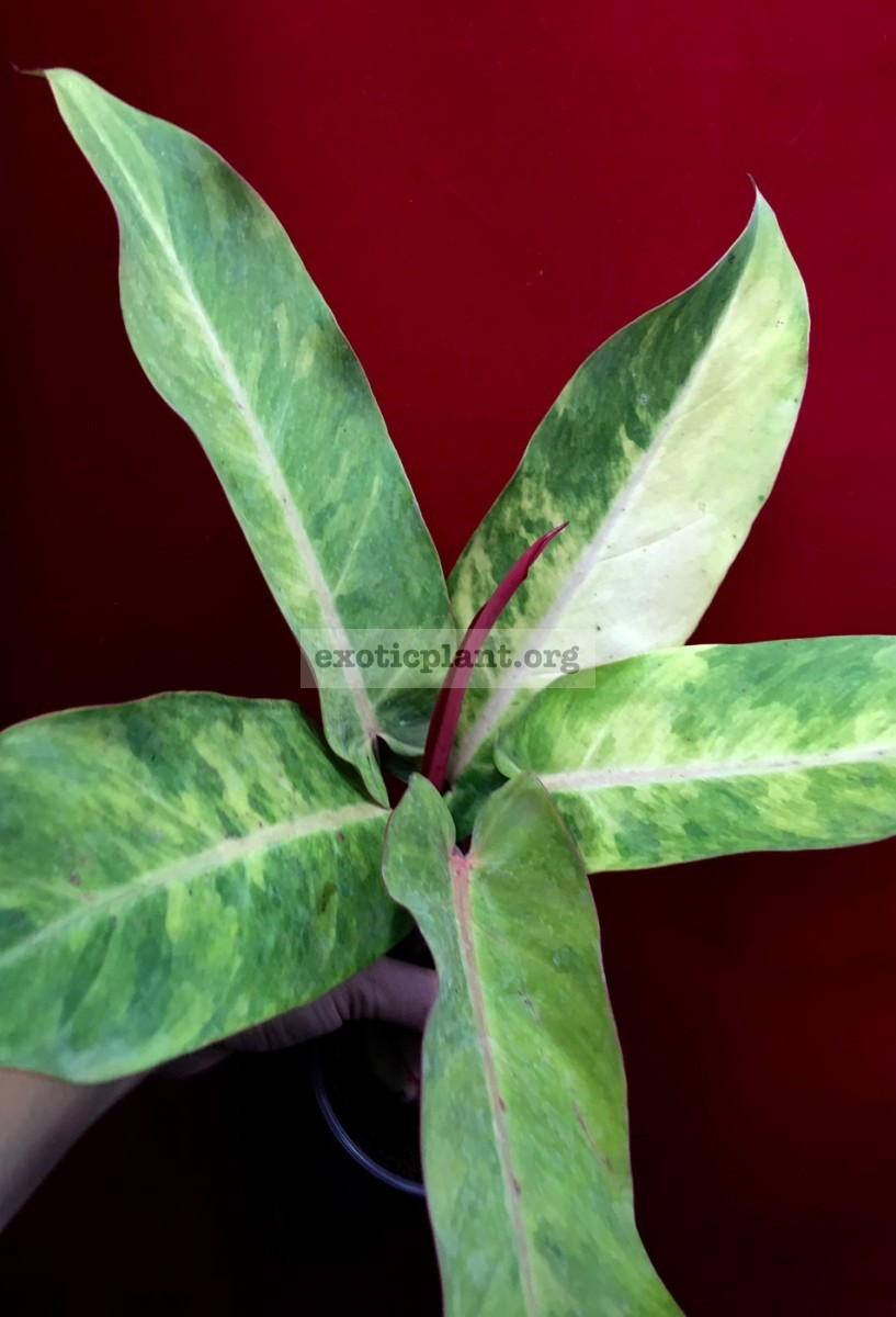 philodendron Siam Rainbow 45
