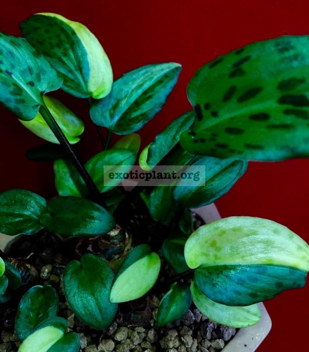 Drimiopsis maculata variegated 20