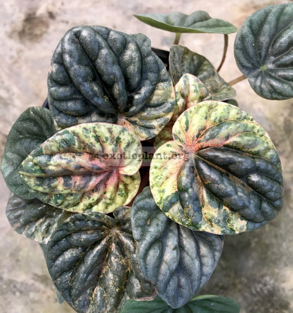 Peperomia caperata variegated 20