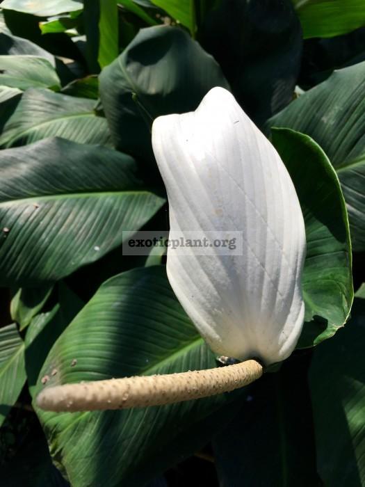 Spathiphyllum cannifolium 25-40
