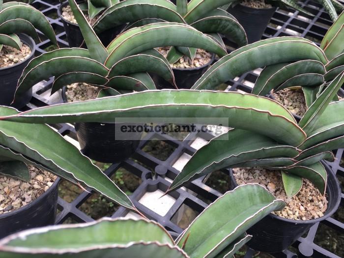 290 robusta «Chunky»30