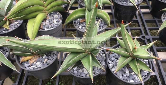 38 «Robuscula» (robusta hybrid) 35