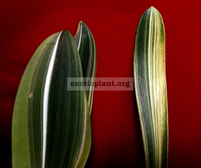 Hippeastrum reticulatum variegated andHippeastrum sp.(T01) variegated сравнение