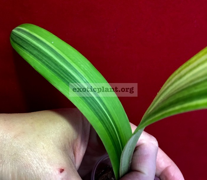 Hippeastrum sp.(T01) variegated 40