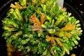 Collection Selaginella tamariscina  Iwahiba — Коллекция Ивахиба (Селагинелла тамариксолистная) Японские культивары