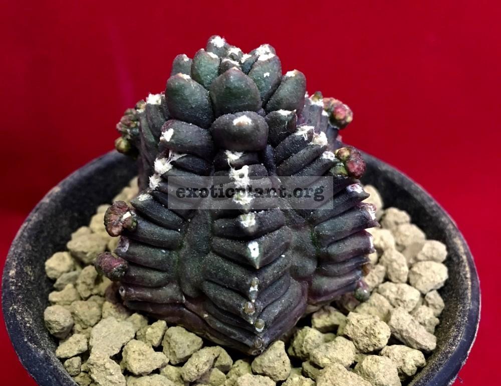Gymnocalycium cv. KIKKO 50