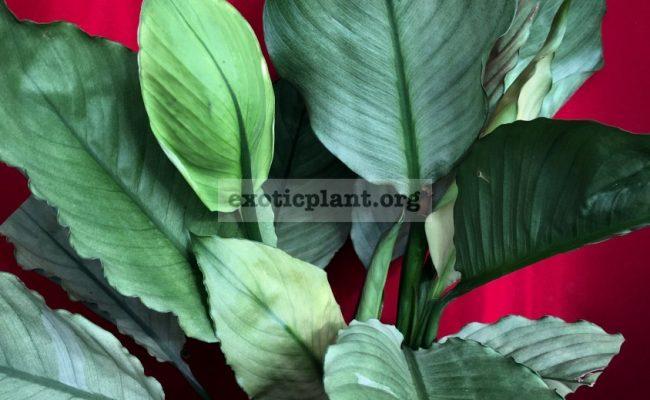 Spathiphyllum blandum 'Spilt Milk'