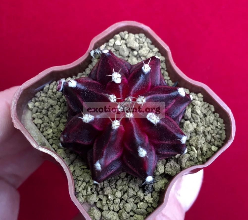 gymnocalicium cv Purple Miracle 50