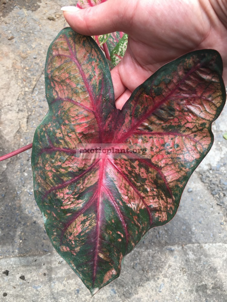 caladium Darkness 20