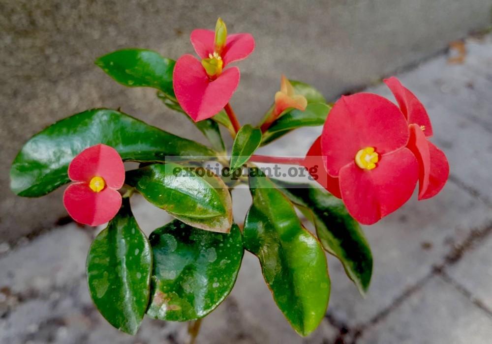 Euphorbia geroldii 20
