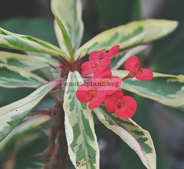 Euphorbia millii 'White Lightning' 12